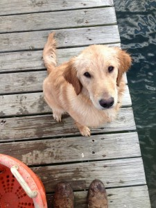honey the retriever
